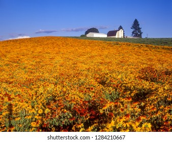 Large field of Gloriosa daisies with a white barn near Silverton, Oregon.