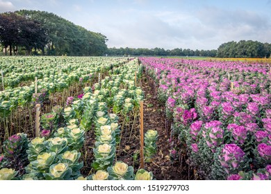Large field with long converging flower beds with colorful ornamental cabbage plants. The image was taken on the field of a specialized outdoor flower and plant nursery in the Netherlands.