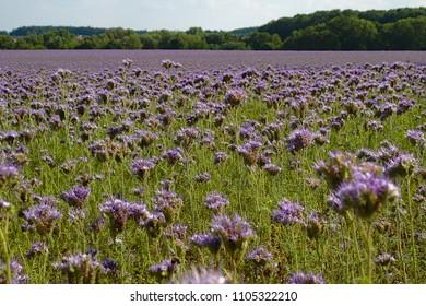 Large field of phacelia tanacetifolia