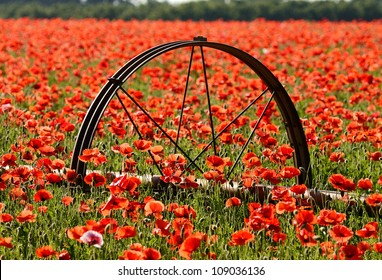 Large field of red poppy flowers in the Willamette Valley of Oregon