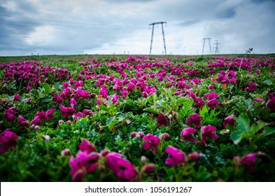 A large field of rose flowers