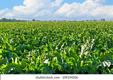 Large field of sugar beets in rural central Colorado with large cumulus clouds in the blue sky