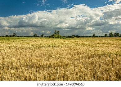 Large field of triticale and white clouds in the blue sky