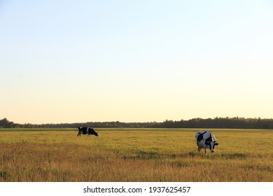 large field with two cows on the background of the forest at sunset. summer rural landscape