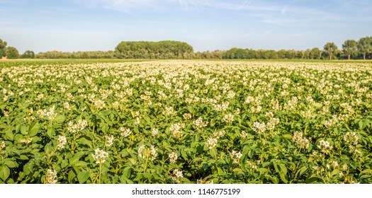Large field with white and yellow blossoming potato plants on a sunny day in the Dutch summer season.
