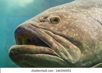Large fish Giant grouper swimming in aquarium. Portrait of Epinephelus lanceolatus