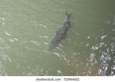 Large fish swims in the water