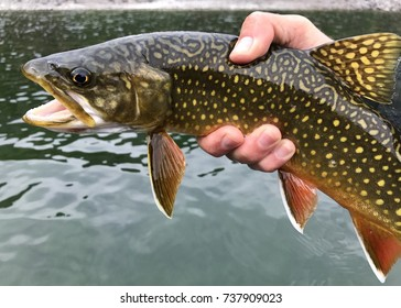 A large fish (trout) caught by a fly fisherman