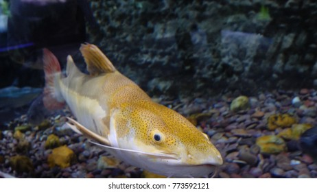 Large fishes swimming in a large aquarium. Large sea fish swim in an aquarium. Aquarium with a large variety of fish