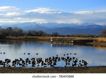 a large flock  of canada geese   on a pond along the teller farms trail,  in eastern boulder county, colorado, with long's peak in the background