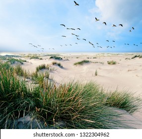 A Large flock of CanvasBacks Ducks Flying Over Wonderful dune beach landscape on the North Sea island Langeoog in Germany with  sand and grass on a beautiful summer day, holidays in Europe.