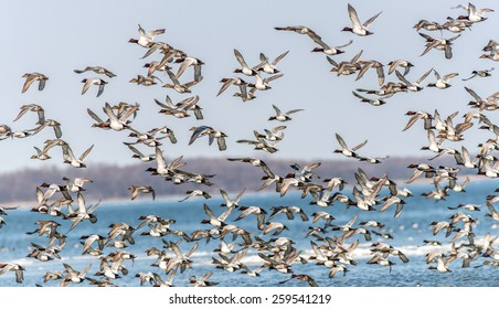 A Large flock of CanvasBacks Ducks Flying Over the Chesapeake Bay in Maryland