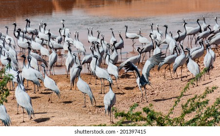 A large flock of Demoisille cranes at water hole in Rajasthan, India.
