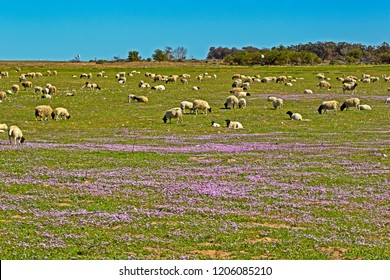 Large flock of Dorper sheep grazing on wildflowers in field in Western Cape, South Africa