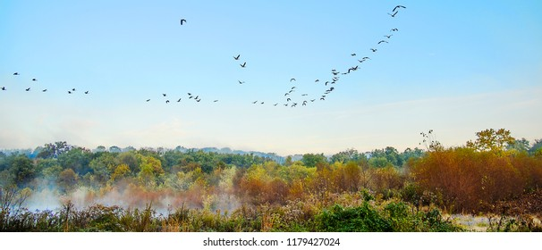 A large flock of geese are flying over an autumn marsh with colors of autumn as the mist rises