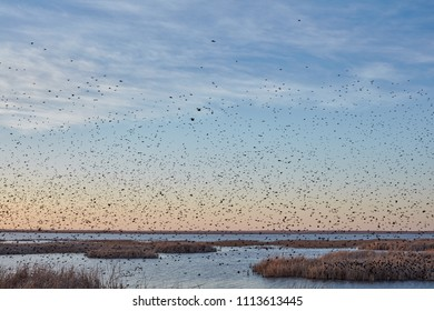 Large flock of migrating blackbirds at sunset silhouetted against an orange sky over the Cheyenne Bottoms wetlands, Kansas