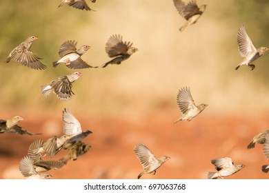 Large flock of red billed weaver birds flying around a water hole on a warm sunny day in the kalahari desert in the northern cape province in south africa.