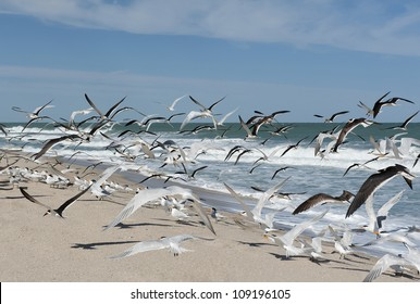 A large flock of Royal Terns on a sunny day at the beach