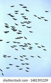 Large Flock of Sandhill Cranes flying together migrating to their breeding places north.
