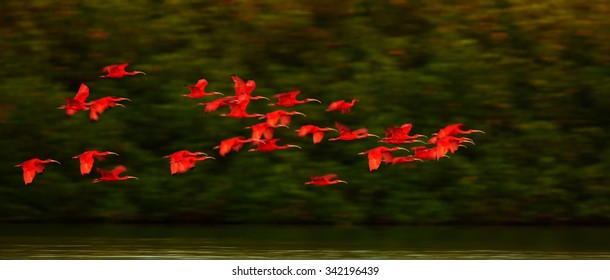 Large flock of Scarlet Ibis Eudocimus ruber returning to overnight in evening light