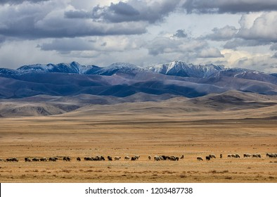 The large flock of sheep and goats grazes in the steppe near the mountains.  Autumn. Western Mongolia