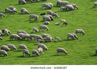 Large flock of sheep grazing on green pasture
