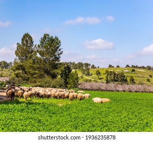 Large flock of sheep and rams is driven along a dirt road around the meadows. Wide green meadow with lush tall grass. Spring green world. Warm sunny february day in Israel.