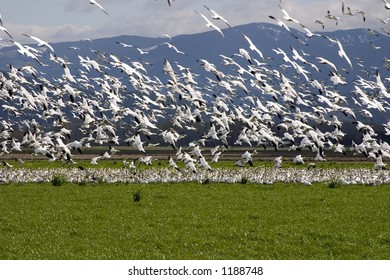 A large flock of snow geese take off from a field in the Skagit Valley in Washington State