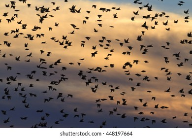 large flock of starlings flying in the sky color