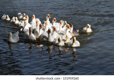 A large flock of white geese swimming on the water