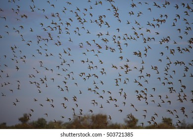 A large flock of wild Budgerigar parrots flying over the red desert sand of Australia's outback.