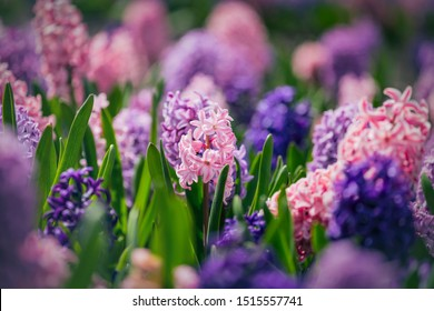 Large flower bed with multi-colored hyacinths, traditional easter flowers, beautiful spring flower background, easter background