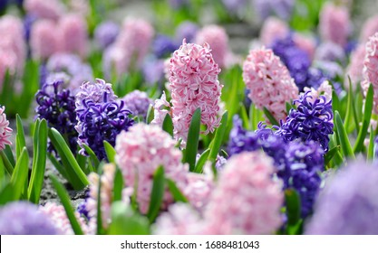 Large flower bed with large multi-colored hyacinths close-up, traditional Easter spring flowers, beautiful spring floral background