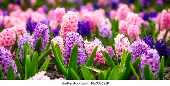 Large flower bed with multi-colored hyacinths, traditional easter flowers, flower background, easter spring background. Close up macro photo, selective focus. Ideal for greeting festive postcard.