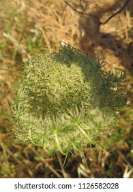 Large flower head ready to bloom on Hogweed or Hemlock plant