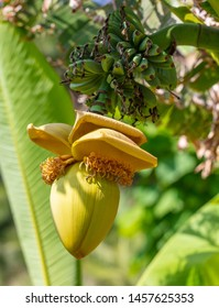 Large flower on a banana. Nature in the subtropics
