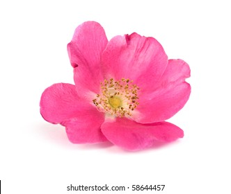 Large flower pink wild rose, isolated on a white background.
