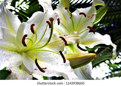 """The large flower of white flowers like lily is a beautiful flower called """"Casablanca""""."""