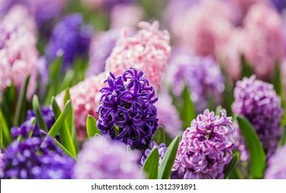 Large flowerbed with multi-colored hyacinths, traditional easter flowers, flower easter background