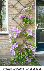 "Large flowered Clematis cultivar ""Nelly Moser"" on a wall in an urban garden. Beautiful white - pink colored Clematis."