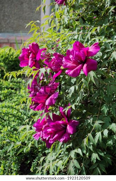 large-flowering-bush-bright-scarlet-600w