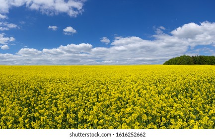 Large flowering rapeseed field up to the horizon with blue sky and white clouds