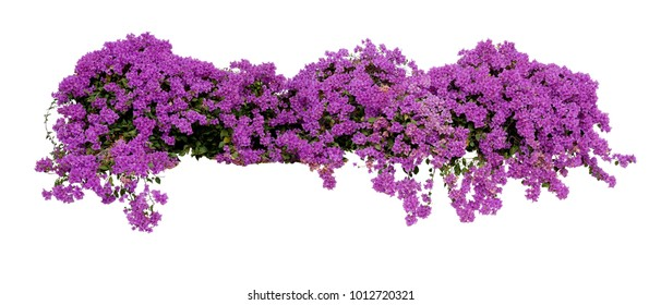 Large flowering spreading shrub of purple Bougainvillea (paper flower) tropical flower climber vine landscape plant isolated on white background, clipping path included.