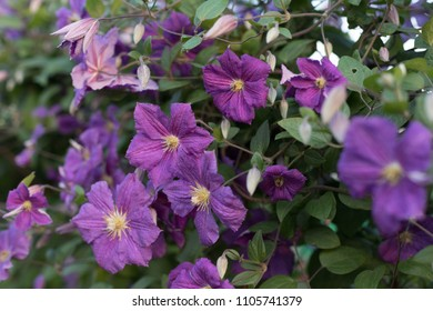 large flowers lilac clematis - Shutterstock ID 1105741379