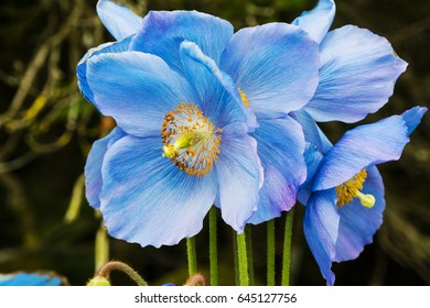 Large flowers of Meconopsis Himalayan blue poppy close-up.