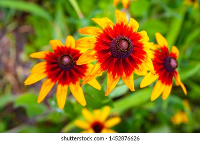 Large flowers of red and yellow rudbeckia. Blooming red and yellow flowers Rudbeckia (Black-eyed Susan) flower-bed in the summer garden. Soft blurred selective focus.