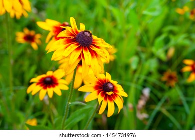 Large flowers of red and yellow rudbeckia. Blooming flowers rudbeckia (Black-eyed Susan) flower bed in the summer garden. Soft blurred selective focus.