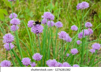 "Large fluffy bumblebee (bombus terrestris) pollinating purple ""Chives"" flower (or Wild Chives, Flowering Onion, Garlic Chives, Chinese Chives, Schnittlauch). Its Latin name is Allium Schoenoprasum."