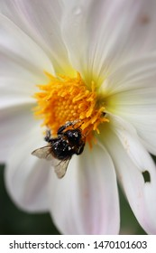 Large fluffy bumblebee closeup.Fluffy bumblebee collects nectar on a white gerbera.macro photo of a bumblebee