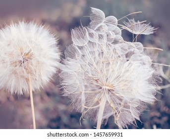 Large fluffy dandelion balls close-up. Art photo. natural background of the garden.